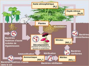 Encyclopedie environnement - nitrates sol - schema cycle azote