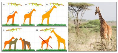 darwin - lamarck - evolution - espece - girafe - schema - transformation evolutive - selection naturelle - encyclopedie environnement