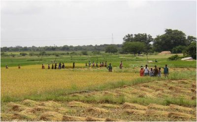 Indian agriculture - Indian rice harvest - environmental encyclopedia