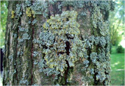 lichens - lichens epiphyte - biosurveillance - pollution atmospherique - encyclopedie environnement