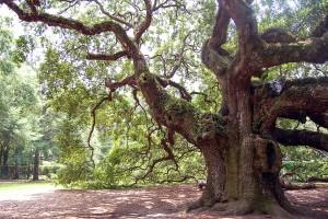 Encyclopédie environnement - biosphère - chêne remarquable - remarkable oak tree