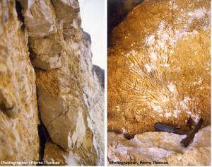 Encyclopédie environnement - biosphère - calcaire origine corallienne - ancient limestone of coral origin