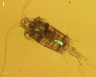 环境百科全书-塑料污染-型桡足类中心体