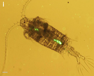 Encyclopedie environnement - pollution plastique - copépode Centropagestypicus - plastic pollution - micro particles in centropages typics copepod