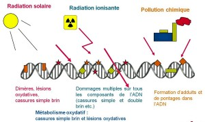 Encyclopédie environnement - radioactivité - agresseurs adn - DNA stressors