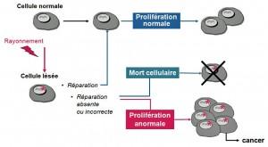 Encyclopédie environnement - radioactivité - évolutions cellule adn endommagée - evolutions of cell whose DNA