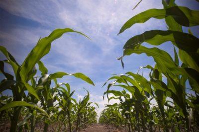 环境百科全书-碳-玉米田