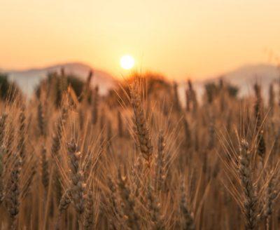 环境百科全书-碳-日落时的小麦田