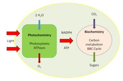 环境百科全书-碳-光合作用阶段-本森-巴沙姆-卡尔文循环