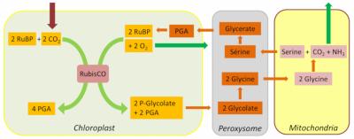 环境百科全书-碳-2-磷酸乙醇酸循环