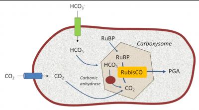 环境百科全书-碳-羧酶体