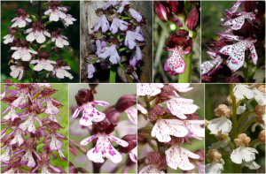 Encyclopédie environnement - biodiversité - Orchis pourpre - purple orchid
