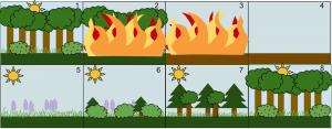 Encyclopédie environnement - biodiversité - cycle évolution naturelle d'une forêt - natural evolution cycle of a wild forest