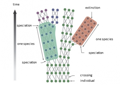 representation of speciation during evolution - biodiversity