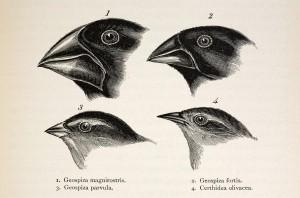 Encyclopédie environnement - l'évolution - pinsons de darwin - darwin's finches