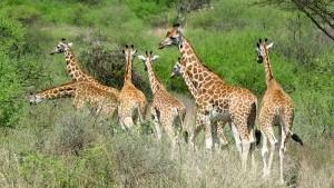 Encyclopédie environnement - l'évolution - girafes de Rothschild - Rothschild giraffes