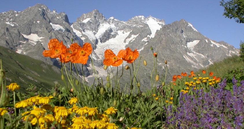 plantes alpines - alpine plants