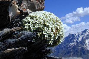 Encyclopedie environnement - plantes alpines - plantes vivaces d'altitude - Androsace helvetica - alpine plants