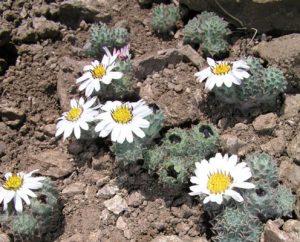 Encyclopedie environnement - plantes alpines - Chaetantherapusilla - alpine plants