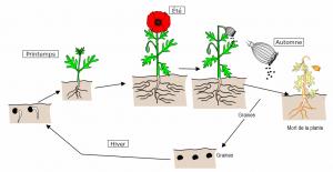 Encyclopédie environnement - plantes - cycle de vie des plantes - life cycle of plants