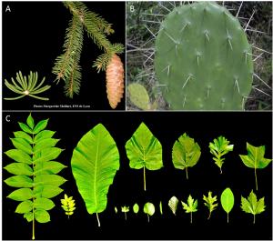 Encyclopédie environnement - plantes - Diversité de la forme et de la physiologie des feuilles - diversity of leaf shape