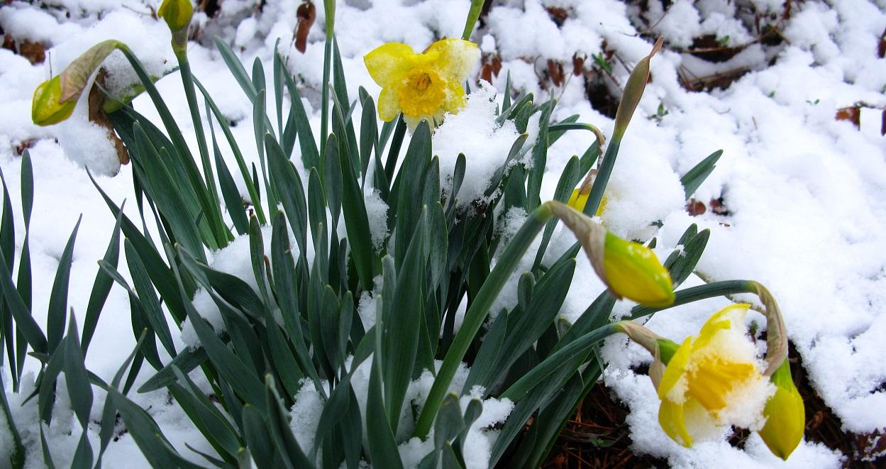 Encyclopédie environnement - plantes - plants snow