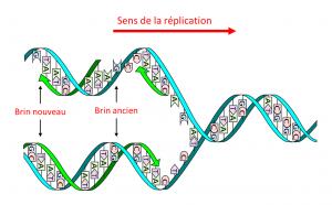Encyclopédie environnement - génome - réplication ADN - DNA molecule - genome