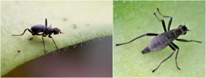 Encyclopédie environnement - génome - Mouche sans ailes - Calycopteryx moseley - wingless fly