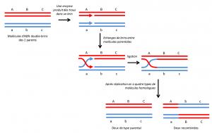Encyclopédie environnement - génome - recombinaison homologue molécules ADN - DNA molecules