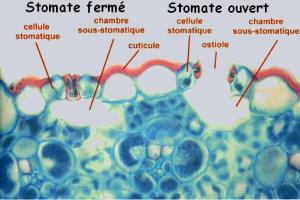 Encyclopédie environnement - adaptation - stomates ouverts ou fermés - leaf showing open or closed stomata