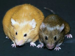 Encyclopedie environnement - epigenome epigenetique - exemple gene Agouti - methylation - avy gene - agouti gene