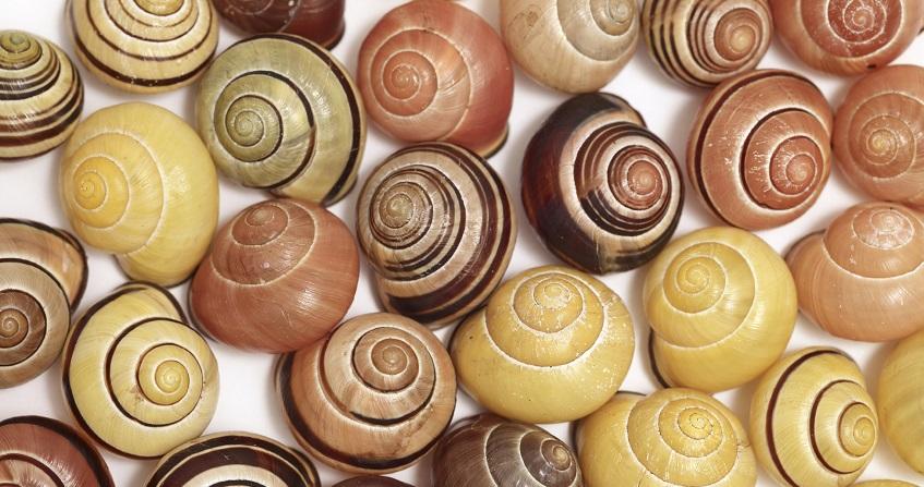 Encyclopédie environnement - polymorphisme génétique - escargots - snails - polymorphism
