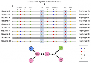 Encyclopedie environnement - polymorphisme genetique -Polymorphisme nucleotidique et alleles - nucleotide polymorphism and alleles
