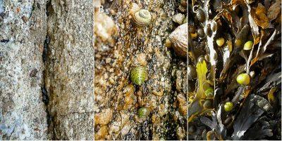 Encyclopédie environnement - biodiversité des côtes rocheuses - Trois exemples de littorines de l'estran rocheux