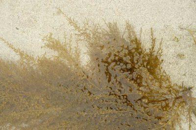 Encyclopédie environnement - biodiversité des côtes rocheuses - Vue partielle de Sargassummuticum