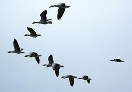 Encyclopedie environnement - Poussée d'Archimède portance - vol en V oiseaux migrateurs - archimede's weight and thrust