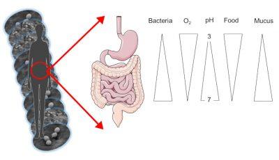 microbiotas intestine