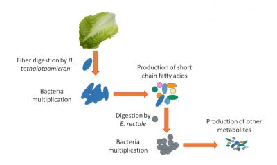 metabolic chain - intestinal bacteria
