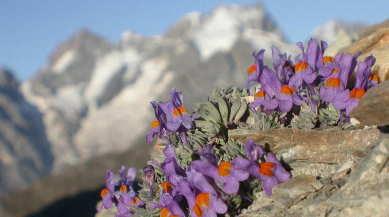Encyclopédie environnement - stress plantes alpines - alpine plants