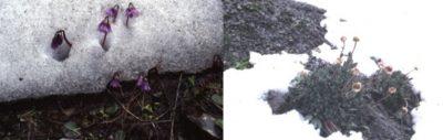 Encyclopédie environnement - stress plantes alpines - Des plantes sous la neige - plants under snow