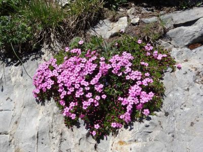 Encyclopédie environnement - stress plantes alpines - Silene acaulis - plants moutains