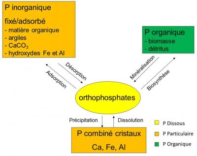 Encyclopédie environnement - pollution phosphore - Les formes du phosphore et leurs interactions - phosphorus forms and interactions