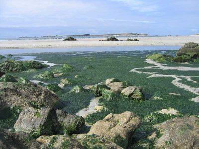 Encyclopédie environnement - pollution phosphore - Prolifération d'algues vertes - green algae blooms breton beach