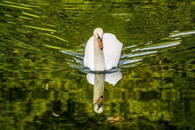 cygne - eau - vague - mouvement - encylocpedie environnement - swan