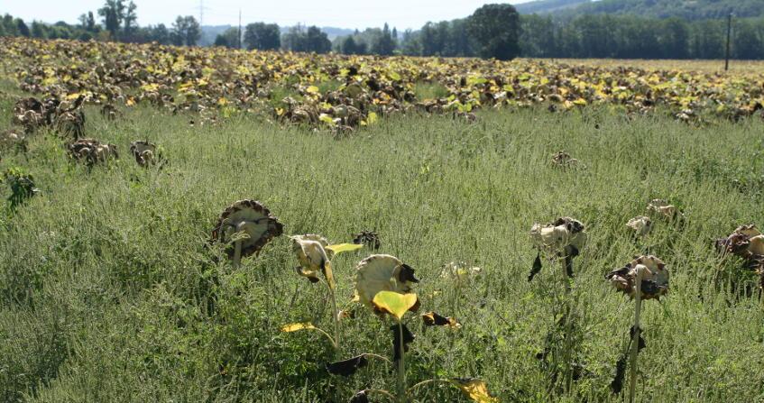 plantes envahissantes - parcelle tournesol - ambroisie - feuilles armoise - ambrosia artemisiifolia - encyclopedie environnement