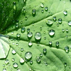 gouttes eau feuille - feuille alchémille - encyclopedie environnement