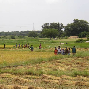 recolte riz inde du sud - agriculture irriguee - recolte riz - encyclopedie environnement