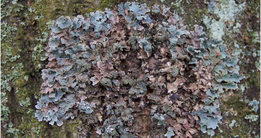 Parmelia sulcata - lichens - lichens foliacé - biosurveillance- pollution atmosphérique - encyclopedie environnement