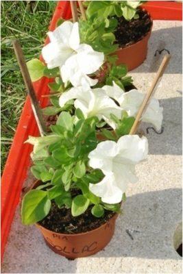petunia - petunias - biosurveillance - encyclopedie environnement - petunia plants