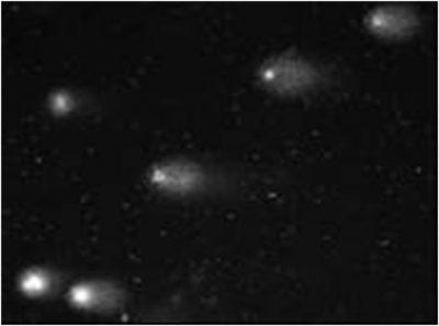 Scindapus aureus - electrophorese - cometes plantes - biosurveillance - encyclopedie environnement - comets plant exposure air pollutants